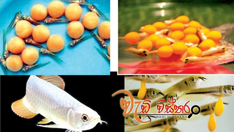 sri-lanka-breeds-arowana-successfully-in-polonnaruwa