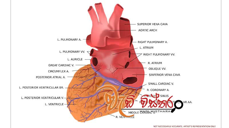 embryology-heart