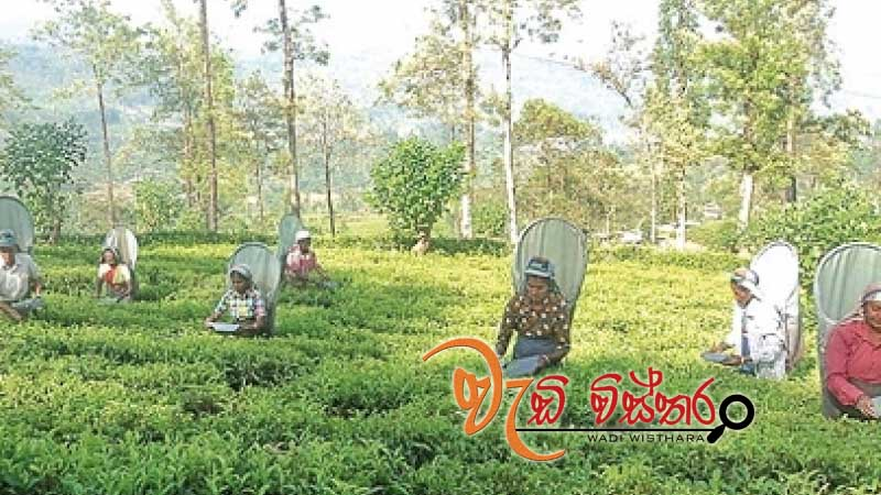govt-allocates-rs-1-bn-for-tea-replanting