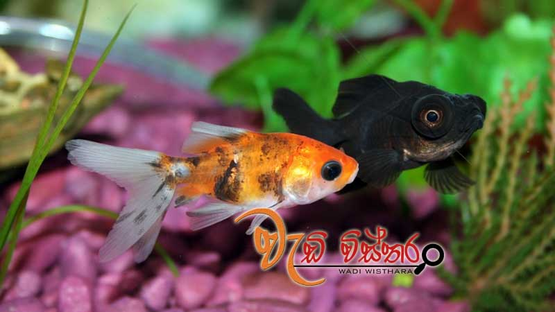sri-lanka-to-promote-ornamental-fish-industry-at-village-level