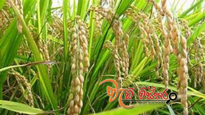 govt-likely-to-increase-guaranteed-paddy-price
